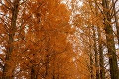 Metasequoia drzewa w zima sezonie fotografia royalty free