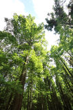 Metasequoia glyptostroboides Royalty Free Stock Images