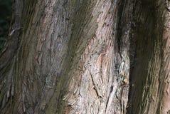 Metasequoia glyptostroboides barkentyna obraz stock