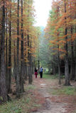 Metasequoia glyptostroboides. The Metasequoia forest in the autumn Stock Photography