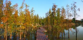 Metasequoia in het moerasland Stock Foto