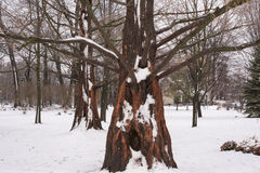 Metasequoia innevato della sequoia di alba nell'inverno Immagini Stock