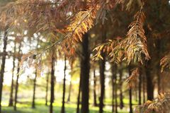Metasequoia leaf in forest. stock photo