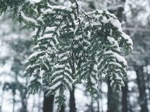 Metasequoia leaves covered snow. In Burr pond state park in winter after snow in Torrington Connecticut America Stock Photo