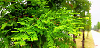 Metasequoia leaves stock image