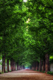 Metasequoia Stock Photography
