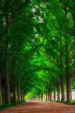 Metasequoia Stock Images