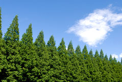 Metasequoia trees Stock Image
