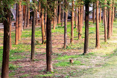 Metasequoia trees Stock Photos