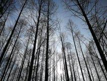 Metasequoiabäume lizenzfreie stockbilder