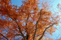 Metasequoiaglyptostroboides, gryningredwoodträdet med röd höst c arkivbilder