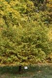 Metasequoiaglyptostroboides på botaniska trädgården Royaltyfri Bild