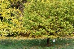 Metasequoiaglyptostroboides på botaniska trädgården Royaltyfria Bilder
