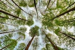 Metasequoiaskog Arkivfoton