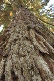 Metasequoiaträd arkivbild