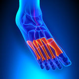 Metatarsals Bones Anatomy with Circulatory System. With highlighted zone - pain concept vector illustration