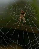 Metellina segmentata. Sitting in its web with morning dew Stock Photo