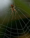Metellina segmentata. Sitting in its web with morning dew Stock Photography