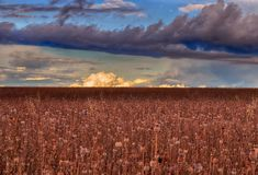 Meteorological photo - Cumulus congestus over the agriculture poppy field. Royalty Free Stock Photos