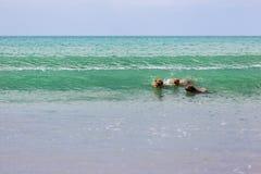 Metgezelhonden die van hun tijd genieten bij het strand stock fotografie