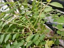 Neem Leaf Stock Image Image Of Fresh Nature Leaf Herb