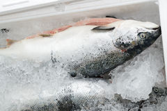 The method of storage of fresh fish in the ice chest Royalty Free Stock Images