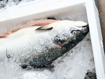 The method of storage of fresh fish in the ice chest Royalty Free Stock Photo