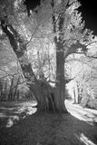 Methuselah jätte Chestnuttree Arkivbild