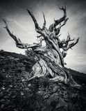 Bristlecone Pine Forest in the white mountains, eastern California, USA stock photography