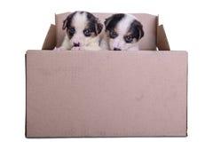 Meticcio dei cuccioli in scatola Fotografia Stock Libera da Diritti