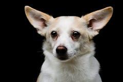 Metis dog Stock Photo