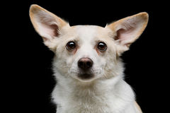 Metis dog. Closeup portrait of beautiful white half-bred dog over black background Royalty Free Stock Images