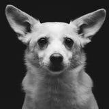 Metis dog Royalty Free Stock Photo