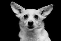 Metis dog Royalty Free Stock Image