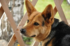Metis of the german shepherd dog. Is lying on wooden verandah. Rzhev town in Tver Oblast, Russia Stock Photo