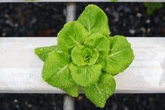 Metodo di coltura idroponica Fotografia Stock