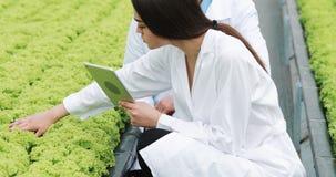 Metodo di coltura idroponica di coltivare insalata in serra Due assistenti di laboratorio esaminano la crescita verdeggiante dell archivi video