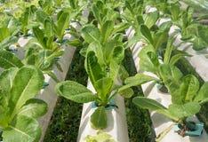Metodo di coltura idroponica di coltura delle piante Fotografie Stock Libere da Diritti