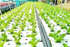 Metodo di coltura idroponica di coltura delle piante facendo uso degli elementi nutritivi minerali, in acqua, Immagine Stock