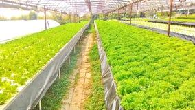 Metodo di coltura idroponica di coltura delle piante facendo uso degli elementi nutritivi minerali, in acqua, senza suolo Fotografia Stock Libera da Diritti