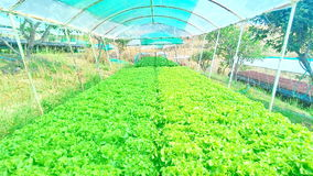 Metodo di coltura idroponica di coltura delle piante facendo uso degli elementi nutritivi minerali, in acqua, senza suolo Fotografia Stock