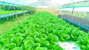 Metodo di coltura idroponica di coltura delle piante facendo uso degli elementi nutritivi minerali, in acqua, senza suolo Immagini Stock Libere da Diritti