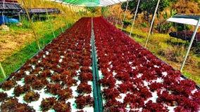 Metodo di coltura idroponica di coltura delle piante facendo uso degli elementi nutritivi minerali, in acqua, senza suolo Immagine Stock