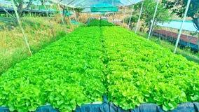 Metodo di coltura idroponica di coltura delle piante facendo uso degli elementi nutritivi minerali, in acqua, senza suolo Immagini Stock