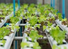 Metodo di coltura idroponica di coltura delle piante facendo uso del solu nutriente minerale Fotografia Stock Libera da Diritti