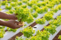 Metodo di coltura idroponica di coltura delle piante facendo uso del solu nutriente minerale Fotografia Stock