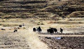 Metodo differente di coltivazione nel Tibet Immagini Stock Libere da Diritti