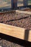 Metodo tradizionale di essiccamento dei chicchi di caffè maturi sulla griglia aperta fuori alle luci del sole, bio- azienda agric fotografia stock