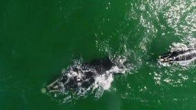 Metragem aérea da baleia do sul de Humback em Gansbaai, Affrica sul video estoque