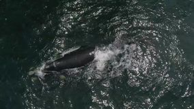 Metragem aérea da baleia do sul de Humback em Gansbaai, Affrica sul filme
